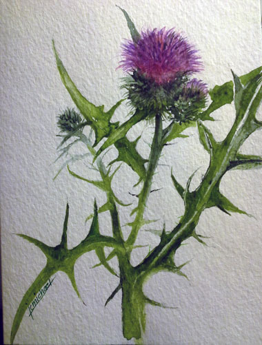 Canaan Valley Thistle